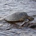 Sea Turtle On Rock by Robin Maria Pedrero