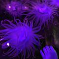 Sea Urchin 8 by Chris Taggart