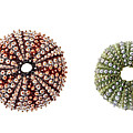 Sea Urchins Of Various Sizes by Elena Elisseeva