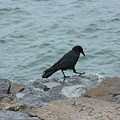 Seafaring Crow by Gothicrow Images