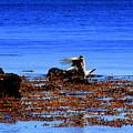 Seagul Landing by John Kenealy