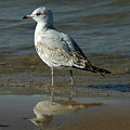 Seagull And His Reflection by Vincent Duis