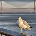 Seagull At Ravenel Bridge by Lynne Jenkins