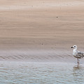 Seagull At The Waters Edge by Chris Warham
