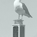 Seagull by Barbara Henry