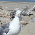 Seagull Bird Art Prints Coastal Beach Driftwood by Baslee Troutman