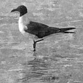 Seagull Black And White by Barb Montanye Meseroll
