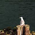 Seagull  by Carol  Eliassen