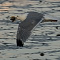 Seagull Cracking Open A Clam by Gene Sizemore