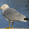Seagull by David Lee Thompson