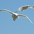 Seagull Doubles by Barbara S Nickerson