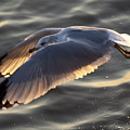 Seagull Flight by Dustin K Ryan