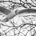 Seagull Fly By Trees by Gyorgy Kotorman
