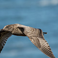 Seagull Flyby by Bill Posner