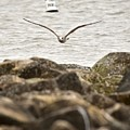 Seagull Flying Into Ocean Jetty by Jeramey Lende