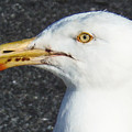 Seagull Head by Lita Kelley