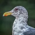 Seagull Head Shot by Bill Posner