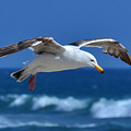 Seagull In Flight by Anthony Murphy