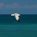 Seagull In Flight by Colleen Fox