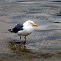 Seagull by Lisa Rose Musselwhite