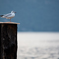 Seagull by Luigi Barbano BARBANO LLC