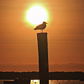 Seagull On A Post by Brian Pflanz