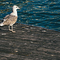 Seagull On The Pier by Pati Photography
