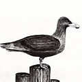 Seagull Portrait On Pier Piling E3l by Ricardos Creations