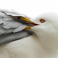 Seagull Pruning His Feathers by Keith Allen