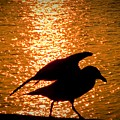 Seagull Silhouette by Steven Natanson
