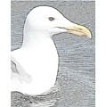 Seagull Sketch by Barbara Henry