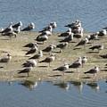 Seagulls by Chani Demuijlder