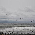 Seagulls Flight Path by Roxy Hurtubise