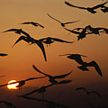 Seagulls In Sunset by Carl Purcell