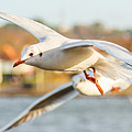 Seagulls In The Air by Gyorgy Kotorman