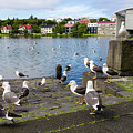 seagulls near a pond in the center of Reykjavik by Tetyana Ustenko
