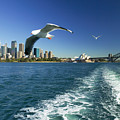 Seagulls Over Sydney Harbor by Dana Edmunds - Printscapes
