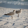 Seagulls by Robert Meanor