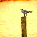 Seagulls Sunset by Laura Brightwood