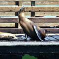 Seal Cheerleader by Debby Pueschel