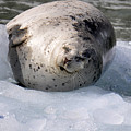 Seal On Iceberg by Diane E Berry