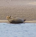 Seal Relaxing On Cupsogue Beach by Kristian Jensen