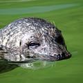 Seal Swimming Portrait Wildlife Scene by Goce Risteski