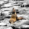 Sealions Cambria by Melissa KarVal