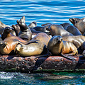 Sealions On A Floating Dock Another View by Anthony Murphy