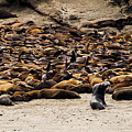 Seals And Sea Lions by TL Mair