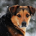 Search And Rescue Dog by Lila Fisher-Wenzel