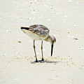 Searching Plover by Marilee Noland