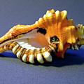 Seashell Cymatium Lotoium by Frank Wilson