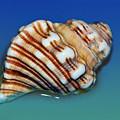 Seashell Wall Art 1 by Kaye Menner